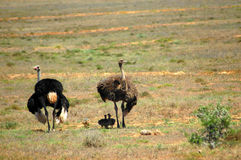Ostrich group. A male and a female ostrich with his little chicks grazing in a game reserve in South Africa Stock Photography