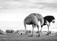 Ostrich Family With Chicks Black and White. Ostrich Struthio Camelus family walk along the Cape of Good Hope, Cape Peninsula, South Africa in black and white stock photo