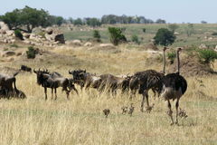 Ostrich Family. With chicks in the savannah. Wildebeests looking at them Stock Photography