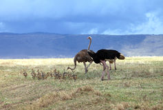 Ostrich family Stock Photos