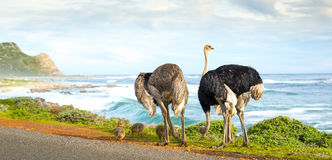 Ostrich Family Panorama Stock Images