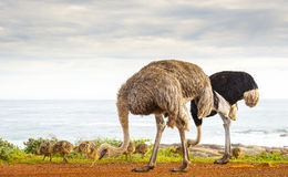 Ostrich Family Stock Photo