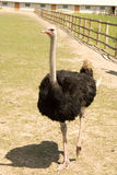 Ostrich on a farm Stock Photography