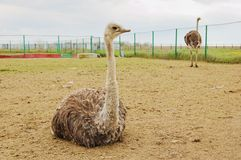 Ostrich farm Royalty Free Stock Images