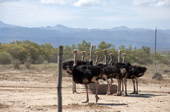 Ostrich Farm Royalty Free Stock Photos