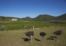 Ostrich Farm Royalty Free Stock Image