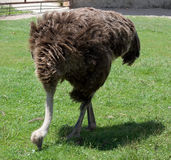 Ostrich in the farm Stock Images