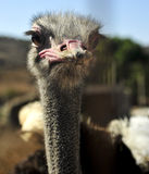 Ostrich in a farm Royalty Free Stock Images