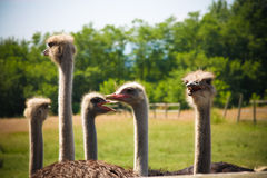 Ostrich farm Stock Images