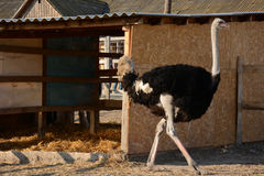 Ostrich on the farm Stock Photo