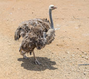 Ostrich Farm  Curacao Views Stock Images