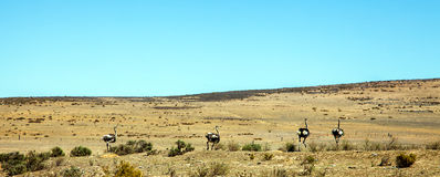 Ostrich farm at Darling. Landscape with ostrich breeding at Darling South Africa Stock Photos
