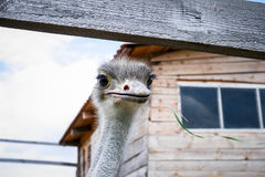 Ostrich on the farm Royalty Free Stock Photo