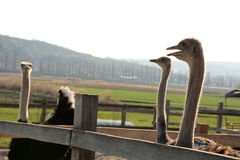Ostrich on the farm Stock Images