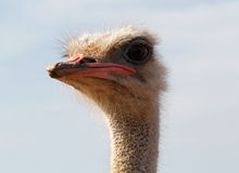Ostrich on a farm 009 Stock Images