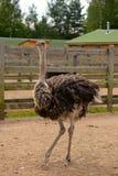 Ostrich on a farm in lenigradsky area Stock Image
