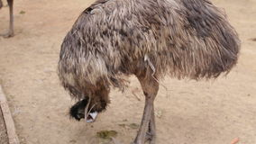 Ostrich Farm, Ostrich closeup. Ostrich Farm, Ostrich close up stock video footage