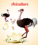 Ostrich farm. Ostrich eggs. Poultry and aviculture. Vector illustration Stock Images