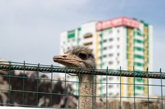 Ostrich at the farm. With house on background Royalty Free Stock Images