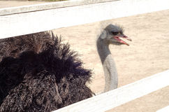 Ostrich Farm, ostriches. animals Royalty Free Stock Photos