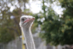 Ostrich Farm, ostriches looking at the camera and posing Royalty Free Stock Photos