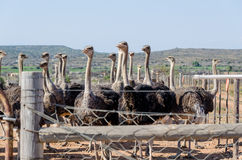 Ostrich farm in Oudshoorn South Africa Royalty Free Stock Photos