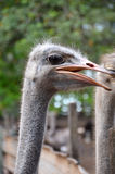 Ostrich on the farm. The photo shows the head and neck ostriches Stock Photos