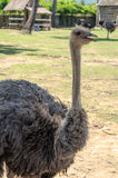 Ostrich in farm Stock Photos
