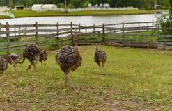 Ostrich farm Stock Photos