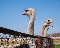 Ostrich farming bird head and neck front portrait in paddock. Stock Images