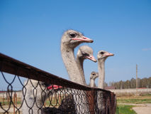 Ostrich farming bird head and neck front portrait in paddock. Stock Photo