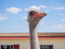 Ostrich farming bird head and neck front portrait in paddock. Stock Image