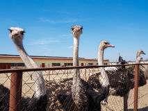 Ostrich farming bird head and neck front portrait in paddock. Stock Photography