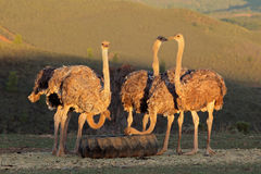 Ostrich farming Stock Images