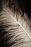 Ostrich feather Royalty Free Stock Photos
