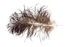 Ostrich feather Stock Photos