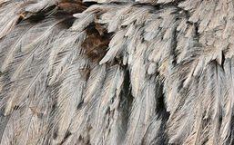 Ostrich Feather. Close Up In Zoo stock photo
