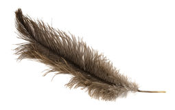 Ostrich feather Stock Photography