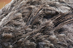 Ostrich feather Stock Images
