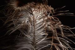Ostrich feather Stock Image