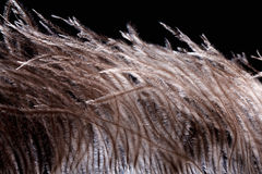 Ostrich feather plume  on black background Stock Images
