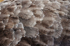 Ostrich Feathers. Close-up of the feathers of an ostrich Stock Photography