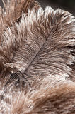 Ostrich feathers Stock Images