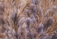 Ostrich feathers background Royalty Free Stock Photo