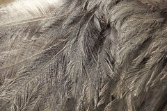 Ostrich feathers Royalty Free Stock Photo