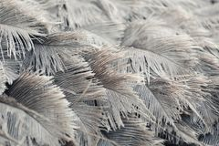 Ostrich feathers of gray color. Royalty Free Stock Photo