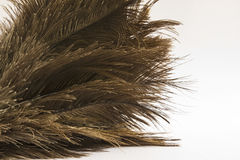 Ostrich feathers (Struthio) close-up over white Royalty Free Stock Image