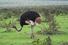 Ostrich Feeding. On the african plains Stock Photography