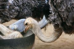 Ostrich feeding. The ostrich or common ostrich (Struthio camelus) is either one or two species of large flightless birds native to Africa, the only living member Royalty Free Stock Photography