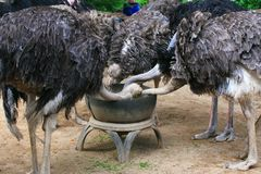 Ostrich feeding. The ostrich or common ostrich (Struthio camelus) is either one or two species of large flightless birds native to Africa, the only living member Stock Photo